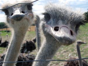 Где в Барнауле страусиная ферма?